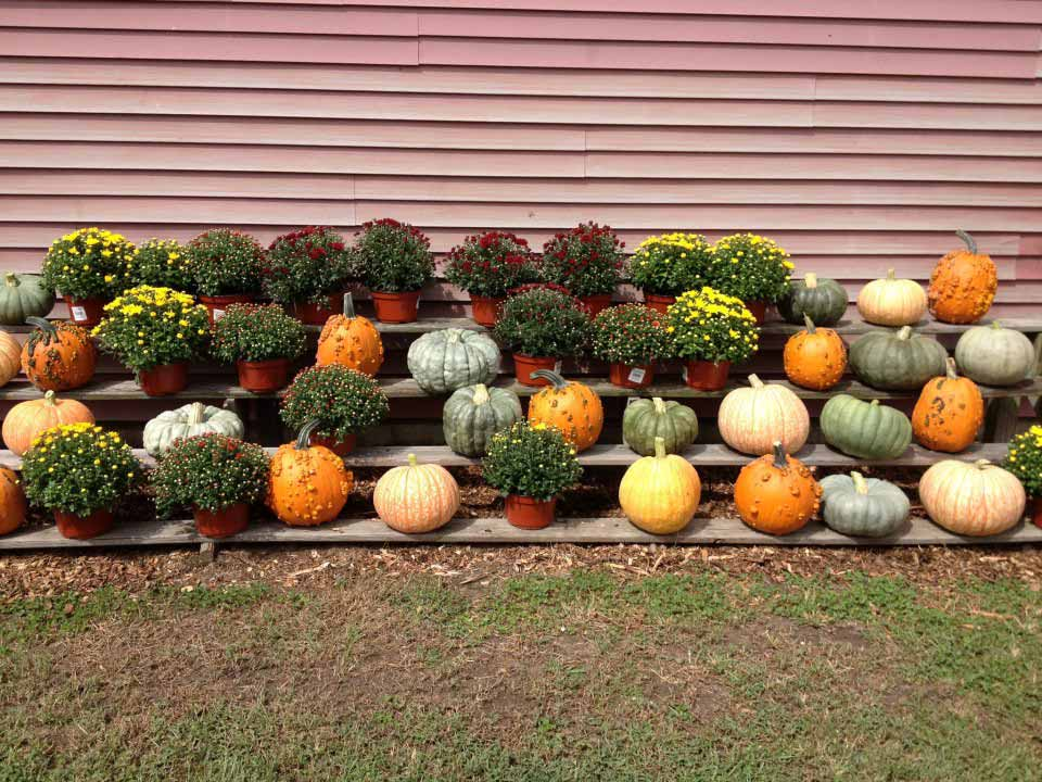 Pumpkins and Mums